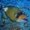 A titan triggerfish in the Red Sea