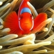 Clownfish, Amphiprion percula