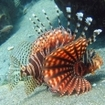 A lionfish in Indonesia
