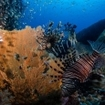 Common lionfish, Pterois miles, in Burma