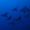 A school of eagle rays in the Maldives