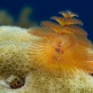 A blenny hides below a christmas tree worm