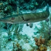 A barracuda swims along a groove in the reef