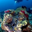 A scuba diver and giant clam at Raja Ampat