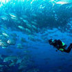 Experience big schools of  trevally at Cocos Island, Costa Rica