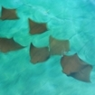 Racha Noi near Phuket is visited by mobula ray