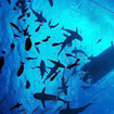 Grey reef sharks under a dive boat, Great Barrier Reef