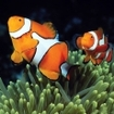 Clownfish, Great Barrier Reef, Australia