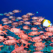 School of soldierfish in The Tunnel