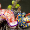 Colourful nudibranchs can be found on the reefs of the Four Kings