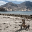 The giant monitor lizard wanders a beach in Horseshoe Bay on Rinca