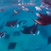 Manta rays gather at Hanifaru Bay, Baa Atoll, Maldives