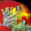 Red Sea anemonefish, southern Red Sea