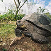 The Galapagos giant tortoise, Ecuador