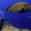 Diving in Palau with Napoleon wrasse