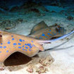 Kuhl's stingrays are found across Thailand