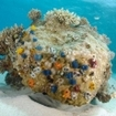 Christmas tree worms light up this coral bommie in Kadavu