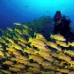 Snappers surround a diver in the southern Maldives