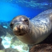 Sea lions are greatfun for scuba divers