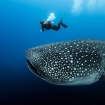 Whale sharks are seen here in season