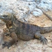 Marine iguanas can often be spotted on the rocky shorelines of the Galapagos, Ecuador
