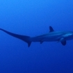 A thresher shark at Daedalus Reef