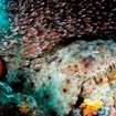 A wobbegong in Raja Ampat, Indonesia