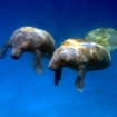See the manatees in Turneffe Atoll, Belize