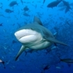 A bull shark in Beqa Lagoon