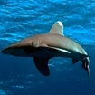 Oceanic whitetip shark at the Brothers, Red Sea
