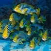 Oriental sweetlips At Thaa Atoll