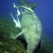 Dugongs can be found in the Southern Red Sea