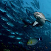 Whitetip reef shark and bigeye trevally at Sipadan, Malaysia