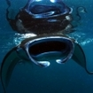 A manta feeds at the sea's surface