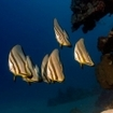A small school of batfish at St. John's, southern Red Sea
