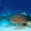 Nurse shark, Nebrius ferrugineus, with remoras