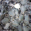 Visit a turtle hatchery in Sabah, Malaysia