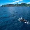 Dolphins on the Pacific Ocean surface, Costa Rica