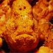 Frogfish can be found at Koh Tachai in Thailand