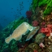 Many cuttlefish hunt for food on the reefs of Western Rocky