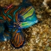Diving with mandarinfish, Indonesia