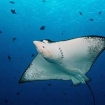 Blue Corner could be a place to dive with eagle rays