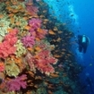 Diving with colourful anthias and corals at Vitawatawa Channel