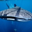 Close up of a whale shark in Cenderawasih Bay