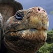Galapagos tortoise (Geochelone nigra) looking curiously