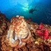 A diver passes a reef octopus in Phuket