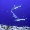 Grey and whitetip reef sharks at Orimas Thila, Northern Maldives