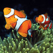 Clownfish at Australia's Ribbon Reefs