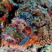 A nudibranch crawls over a scorpionfish at Laamu Atoll