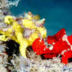 Red and yellow frogfish at Sipadan-Kapalai, Malaysia